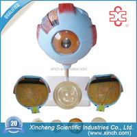 Giant Anatomical Eyeball Model (XC-316)