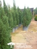 Christmas Tree(Outdoor Plants)