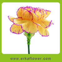 27 0.13USD/PC Mother's Day Fresh Cut Carnation Flower with Purple Edage