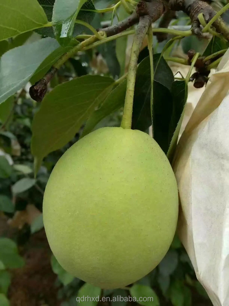 2016 fresh juicy shangdong pear China