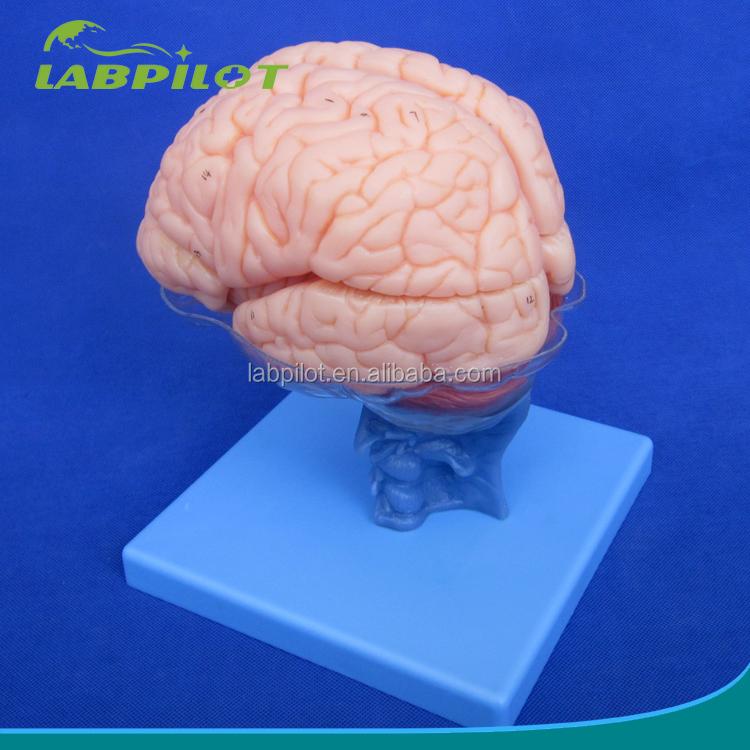 15 unidades desmontable modelo del cerebro, enseñanza cerebro ...