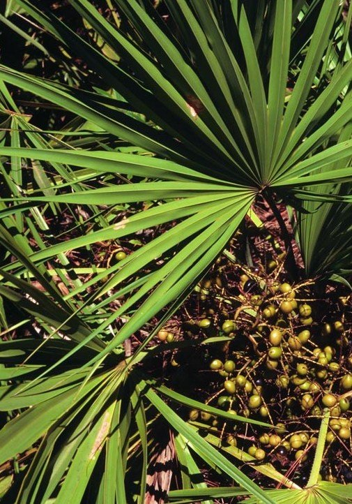 Saw Palmetto Extract 45%, Fatty Acid