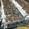 Agricultural Perforated Silver Black Mulch Film