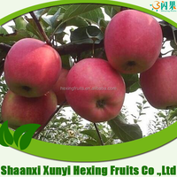 Supply Fresh apple qinguan apple for hot sale