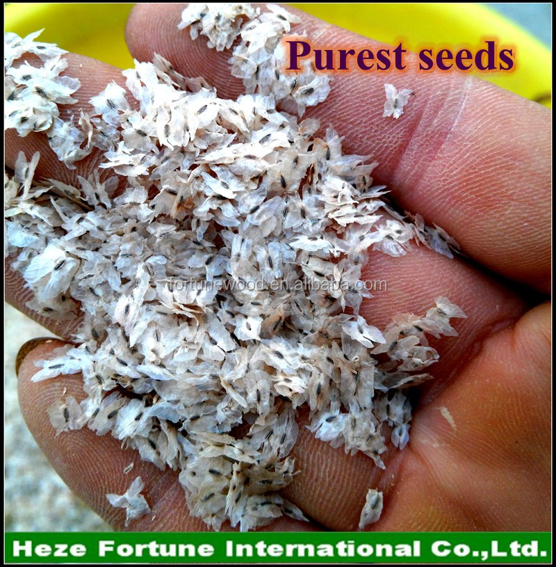 paulownia tree seeds supply with CIQ PHYTO certificates