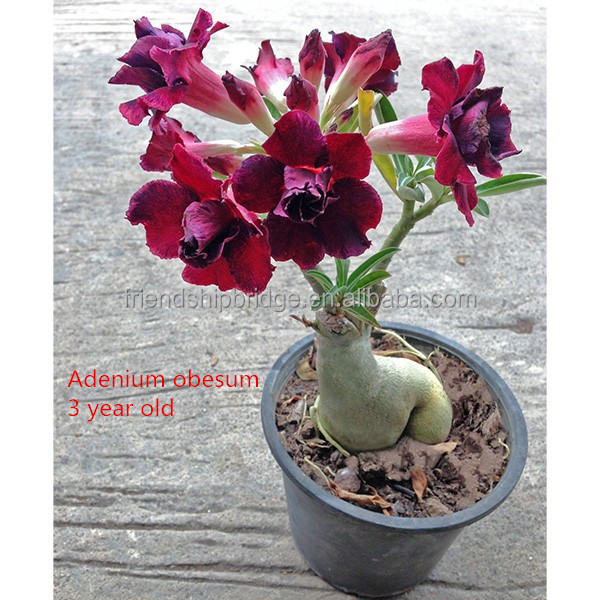 1 /2/3/4/5 years old red white pink flower Desert rose plants