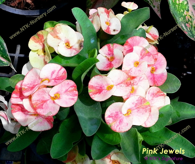 "Live Ornamental Plants and Euphorbia milii plant ""Pink Jewels"""