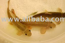 genuine garra rufa fish from turkey