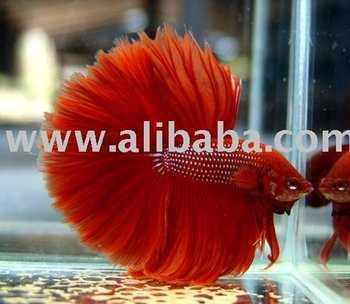Interbettas Live Betta Siamese Fighting Fish