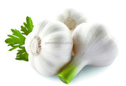 Wholesale Alibaba Normal White Garlic in Hot Sale 2016'