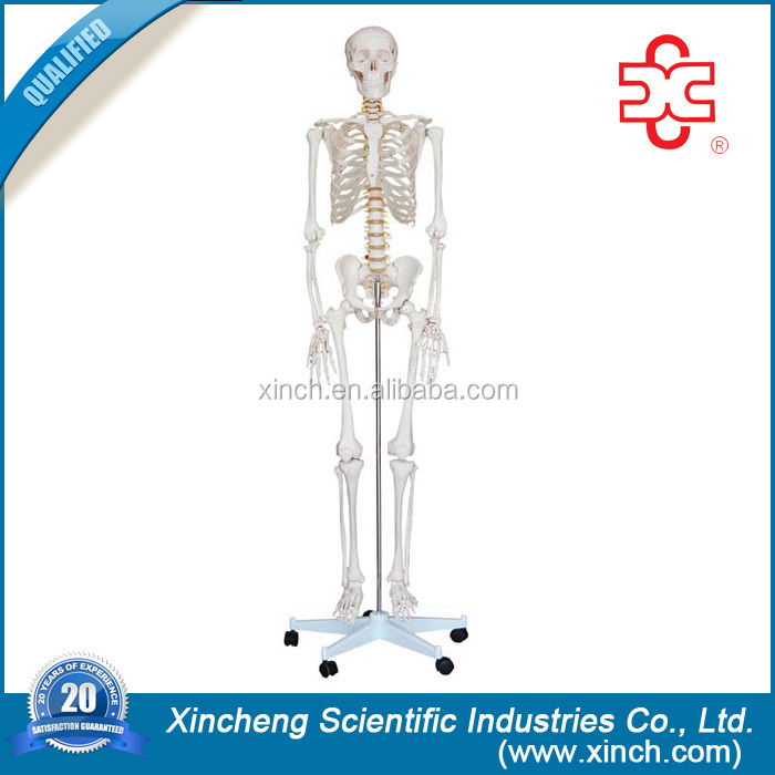 Good Quality and Grade One Plastic Skeleton