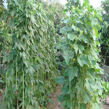Dou jiao seed green plant long bean Seed F1 For Greenhouse