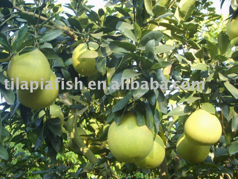 Chinese fresh pomelo for sale