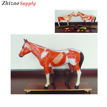 Horse anatomical models, horse anatomy model, animal medical anatomical teaching model