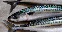 High Quality Horse Mackerel /Pacific/Pacific ocean Mackerel fish for sale
