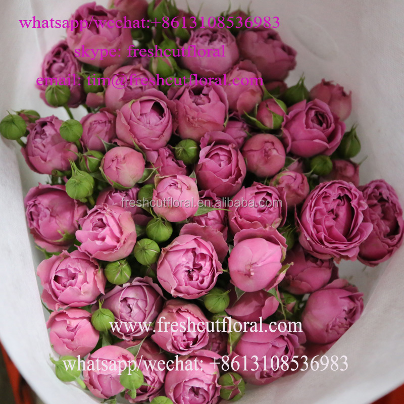 China rose farm provides fresh cut rose, spray roses with high quality and low price