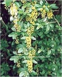 Wholesales of Barberry