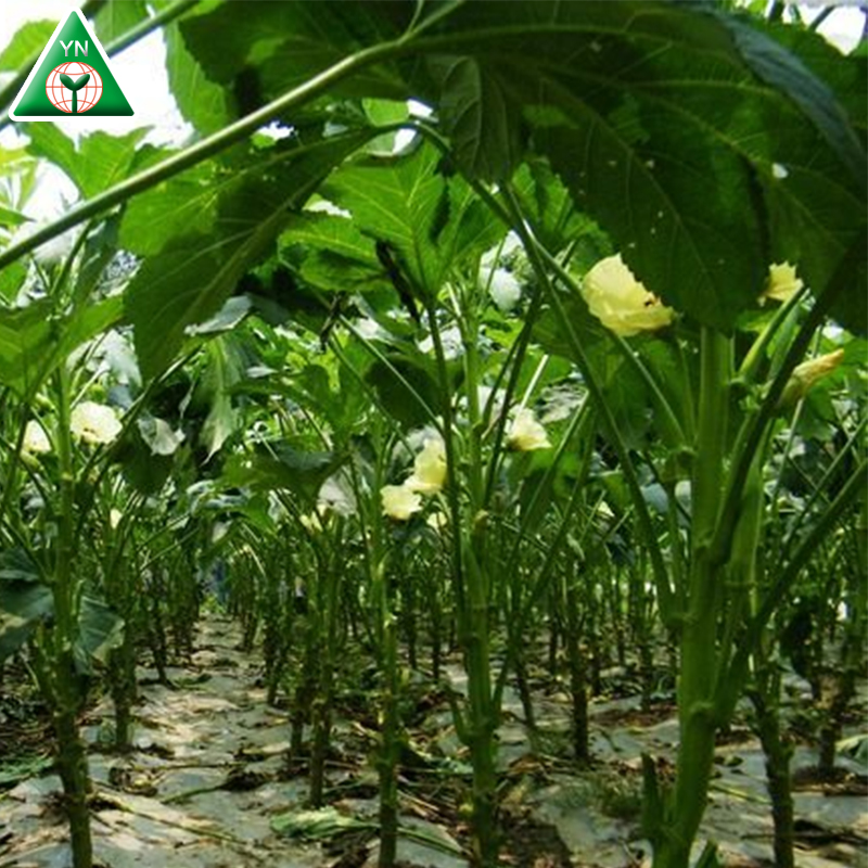 Supply High Yield Okra Seeds For Planting