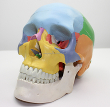 Human Life-Size Skull with Colored Bones model, Anatomical Skull Model