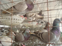 pigeon transport cage/The New type and superior fancy pigeon cages for sale for poultry farm