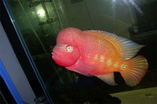 Super Red Dragon Flower Horn Fish