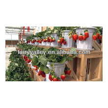 Strawberry plants seeds for sale day neutral planting strawberry plants