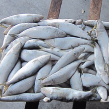 wholesale low price frozen sardines fish for <strong>bait</strong>