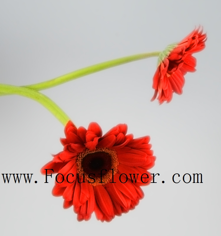 Magnificent Promotional Long Stem Flowers Fresh Cut Gerbera Exotic Fresh Cut Flowers Wedding celebrations from Kunming