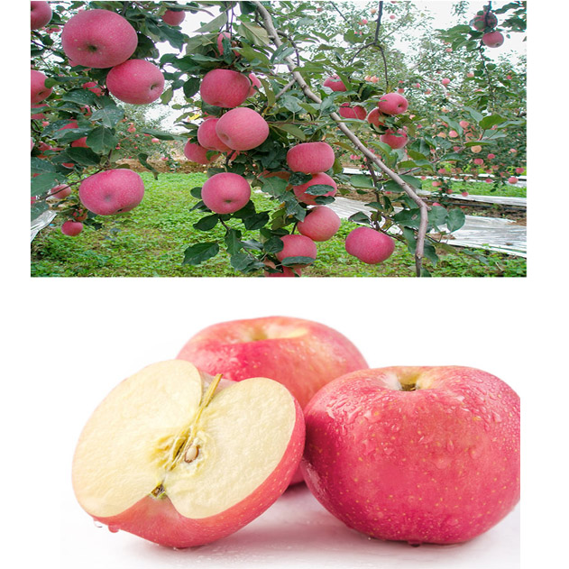 Orchard factory pink apple wholesale