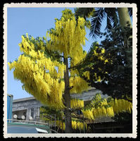 wooden tree Thailand's national flower tree of Apollo with long life span for beautify