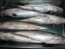 2017 Frozen Seafood Grey Mullet Without Roe for sale