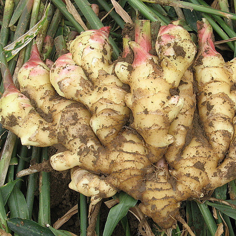 2016 new crop fresh ginger at cheap price
