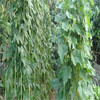 Dou Jiao Early Maturity Long Beans Seeds Vegetable Seeds Type