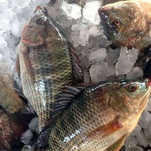 Frozen Tilapia Fish Factory