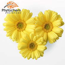 Professional manufacture Brownish Yellow chrysanthemum oil