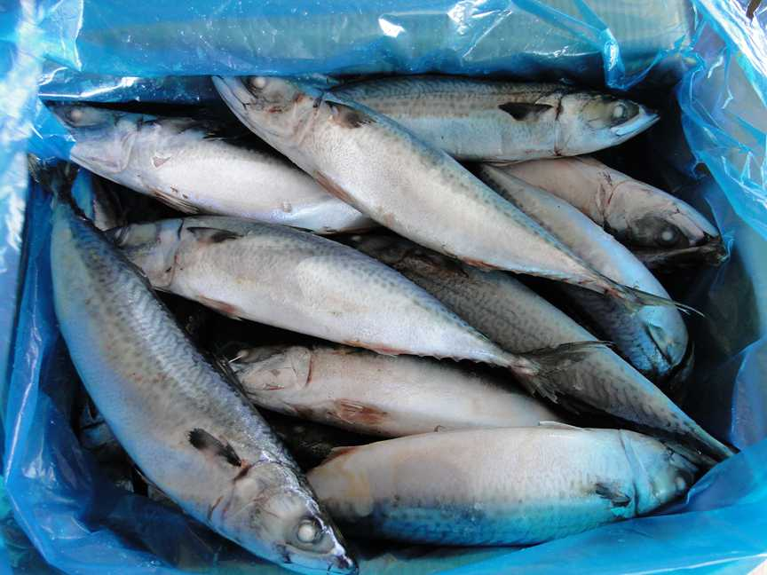 Grade A Best Price Frozen Pacific Mackerel Fish