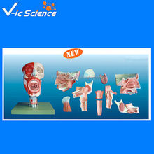 Nose ,mouth,pharynx larynx anatomical model