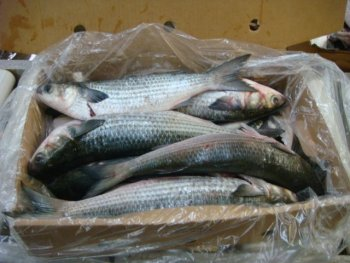 Frozen Whole-Gutted Grey Mullet - Mugil cephalus