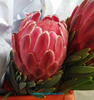 long lasting Big Protea cynaroides flower Fresh cut flower