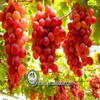 Typical sweet muscat grapes/for sale from original supplier