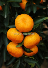 Nanfeng Fresh Baby Mandarin Orange
