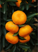 Wholesale Nanfeng Fresh Baby Mandarin Orange