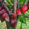 Cocoa Beans Wholesales 2015