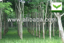 Latex Rubber Plantation