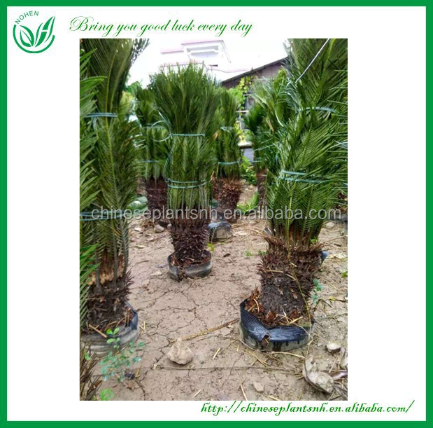 Natural Plants Outdoor Cycas Revoluta