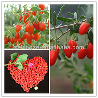 Hight Quality Barbury Wolfberry fruit Extract Goji berry