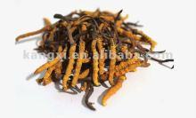 The King of Tonic Cordyceps Sinensis 4500 meter plateau Growing