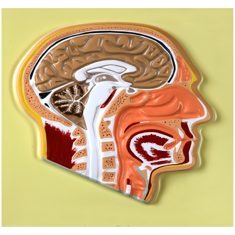 Biology Teaching Aids Anatomical Bas Relief Model of Human Head
