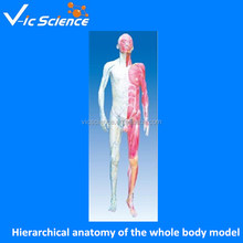 Hierarchical anatomy of the whole body model