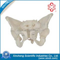female pelvis anatomic model For Hospital And Lab